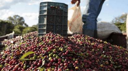 Nuevas tecnologías se imponen para aumentar la recolección de café