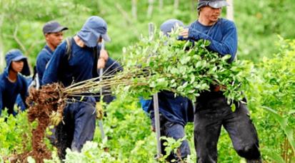 Solo Tibú y Sardinata tendrán sustitución de cultivos ilícitos