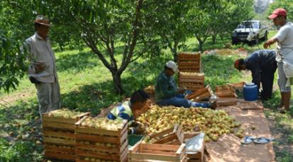 Durazno de la región abre las puertas al mercado nacional