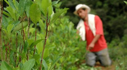 Asociación de Campesinos del Catatumbo reafirman voluntad de sustituir cultivos